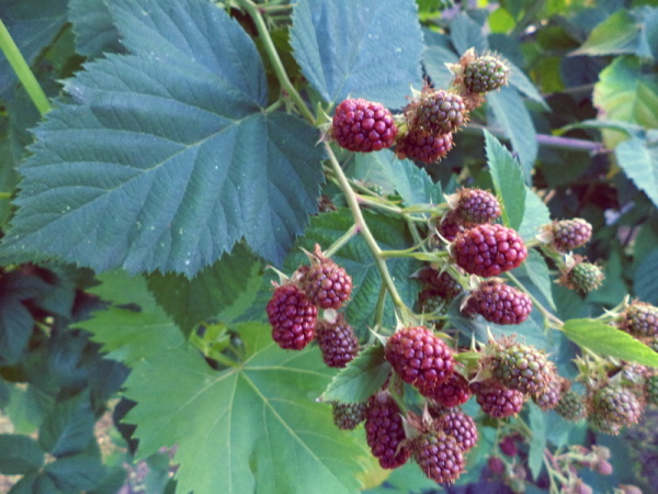 029Raspberries