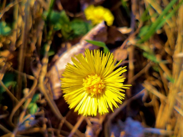 351Coltsfoot