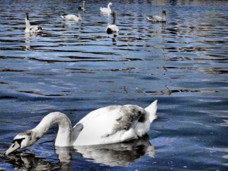 Swarm of Swans