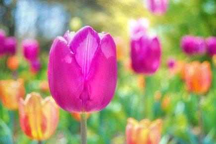 Can't avoid tulips