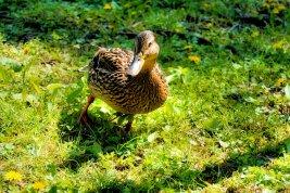 Ms Duck
