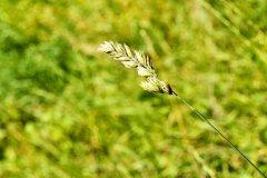Leaf of grass