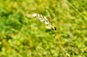 Leaf of grass