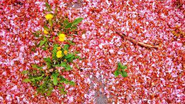 Some dead petals